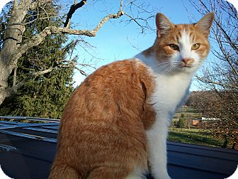 American Bobtail Cat for adoption in Maxwelton, West Virginia - Patton