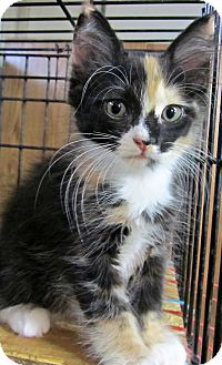 Calico Kitten for adoption in Seminole, Florida - Cassity