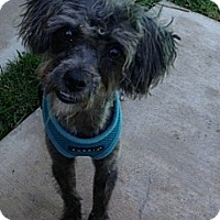 Adopt A Pet :: Moxie - Los Angeles, CA
