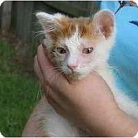 Adopt A Pet :: Kitten - Summerville, SC