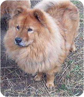 Chow Chow Dog for adoption in Columbus, Ohio - Peaches