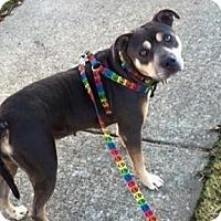 Adopt A Pet :: Aya - Colmar, PA
