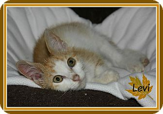 Domestic Shorthair Kitten for adoption in New Richmond,, Wisconsin - Levi