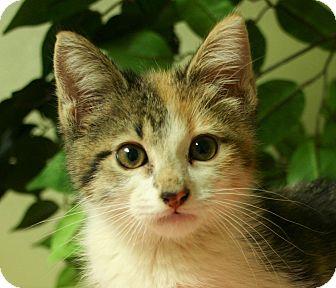 Domestic Shorthair Kitten for adoption in Hastings, Nebraska - Jocelyn