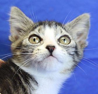Domestic Shorthair Kitten for adoption in Winston-Salem, North Carolina - Pierce
