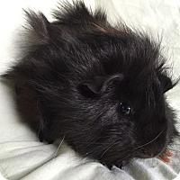 Adopt A Pet :: Max - Steger, IL