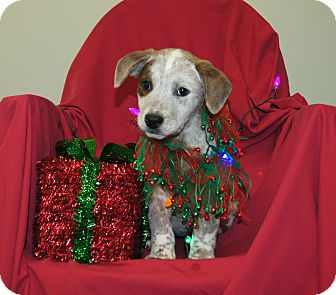 Australian Cattle Dog/Blue Heeler Mix Puppy for adoption in Saratoga Springs, New York - Heidi ~ ADOPTED!