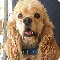 Adopt A Pet :: Sandy - Santa Barbara, CA