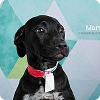 Adopt A Pet :: Marfa - Denver, CO