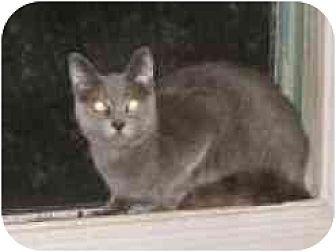 Domestic Shorthair Cat for adoption in Pasadena, California - Davina