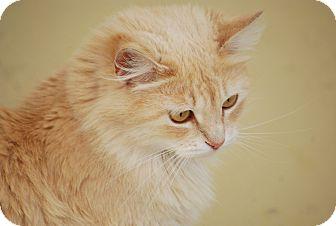Maine Coon Cat for adoption in Trevose, Pennsylvania - Blondi