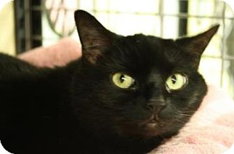 Domestic Shorthair Cat for adoption in West Des Moines, Iowa - Sasha
