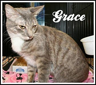 Domestic Mediumhair Cat for adoption in Houston, Texas - Grace