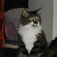 Domestic Longhair Cat for adoption in Naples, Florida - Kumari