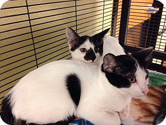 Domestic Shorthair Kitten for adoption in Palm desert, California - Fantasy