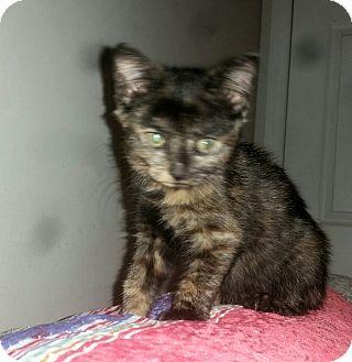 Domestic Shorthair Kitten for adoption in Washington, North Carolina - PIPPA