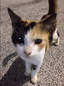Calico Kitten for adoption in Sunny Isles Beach, Florida - Princess Daisy