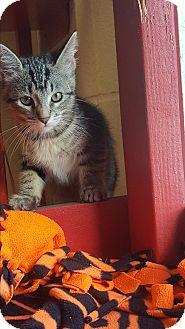 Domestic Shorthair Kitten for adoption in yuba city, California - Kit Kat