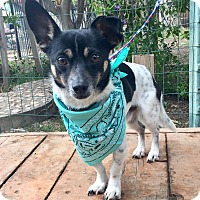 Toy Fox Terrier/Dachshund Mix Dog for adoption in Santa Ana, California - Diego
