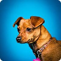 Chihuahua/Dachshund Mix Dog for adoption in Seattle, Washington - Cinnamon