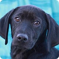 Adopt A Pet :: Mickie - ADOPTION IN PROGRESS - Brattleboro, VT