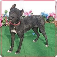Adopt A Pet :: SHENZI - Marietta, GA