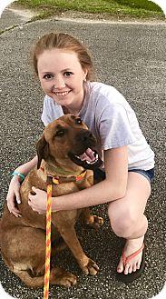 Hound (Unknown Type)/Labrador Retriever Mix Dog for adoption in Glastonbury, Connecticut - Kimba