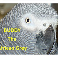 Adopt A Pet :: Buddy the African Grey $550.00 - Vancouver, WA