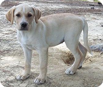 Labrador Retriever/Hound (Unknown Type) Mix Puppy for adoption in Adamsville, Tennessee - Bayley