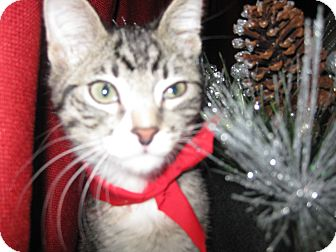 Domestic Shorthair Kitten for adoption in Clearfield, Utah - Adidas