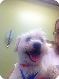 Poodle (Toy or Tea Cup) Dog for adoption in Chicago, Illinois - TOBY