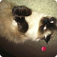 Adopt A Pet :: Sammy (front paw declawed) - Beverly Hills, CA