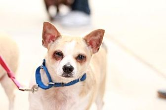 Chihuahua Mix Dog for adoption in Morganville, New Jersey - Spanky