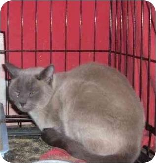 Siamese Cat for adoption in Bedford, Massachusetts - Kitti