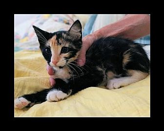 Calico Cat for adoption in Euless, Texas - Shelly
