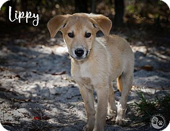 Golden Retriever/Catahoula Leopard Dog Mix Puppy for adoption in Weeki Wachee, Florida - Lippy