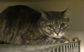 Domestic Shorthair Cat for adoption in Centreville, Virginia - Dru
