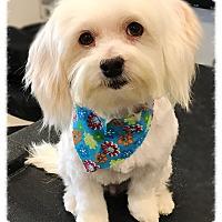 Adopt A Pet :: Lyzza - Los Alamitos, CA