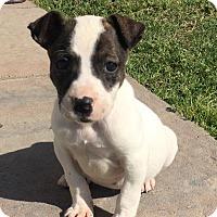 Adopt A Pet :: Clio - Jacksonville, NC