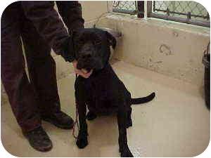 Boxer/Labrador Retriever Mix Dog for adoption in Gladwin, Michigan - Lab/Boxer mix