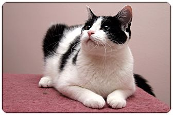 Domestic Shorthair Cat for adoption in Sterling Heights, Michigan - Bandit - ADOPTED!