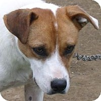 Boxer/Terrier (Unknown Type, Small) Mix Dog for adoption in Franklin, West Virginia - Daisy