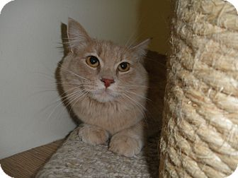 Domestic Longhair Cat for adoption in Milwaukee, Wisconsin - Furosha