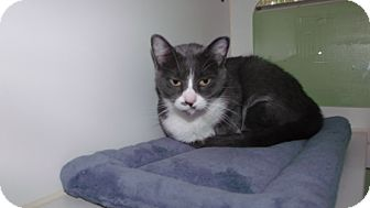 Domestic Shorthair Cat for adoption in Muskegon, Michigan - madre