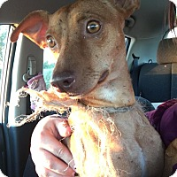 Adopt A Pet :: Radar - Jarrell, TX