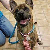 Adopt A Pet :: Babi - Indianapolis, IN