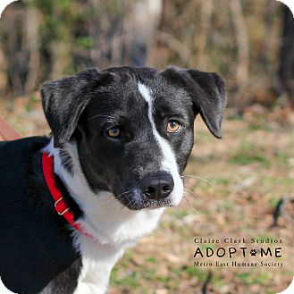 Border Collie Mix Dog for adoption in Edwardsville, Illinois - Eddie