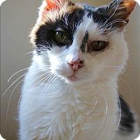 Domestic Mediumhair Cat for adoption in Santa Rosa, California - Peony