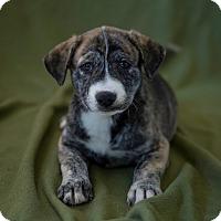 Adopt A Pet :: Girl Puppy #1 - Apache Junction, AZ