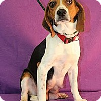 Adopt A Pet :: Norma Jean - Broomfield, CO